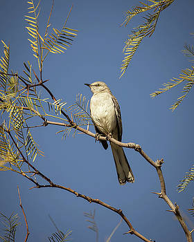 Northern Mockingbird-_MG_450918 by Rosemary Woods-Desert Rose Images
