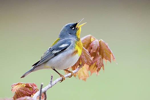 Northern Parula Warbler Songbird Singing Amongst Maple Leaves by Scott Leslie