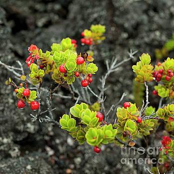 Charmian Vistaunet - Ohelo Berries on Lava Rock