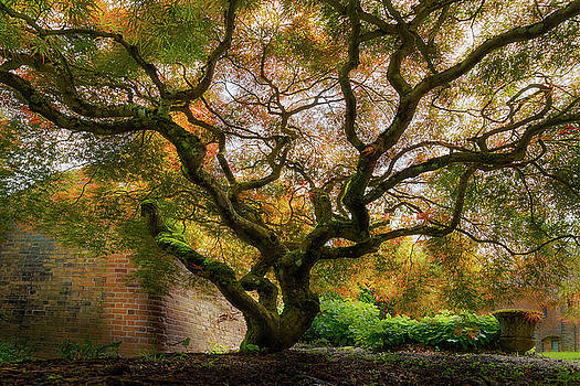 Old Japanese Maple Tree by David Gn