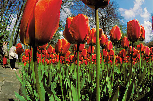Orange Tulips in Holland by Carl Purcell