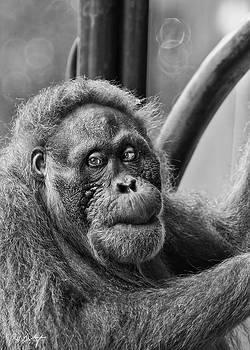 Orangutan Mama by Phill Doherty