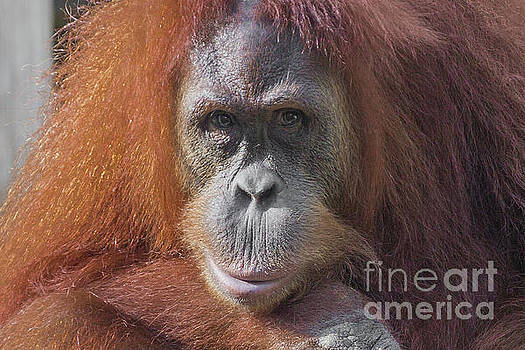 Orangutan Portrait by Kimberly Blom-Roemer