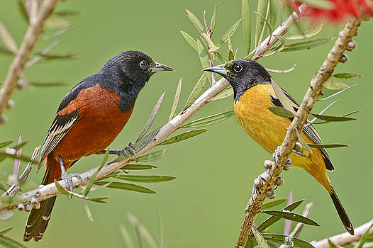 Orchard Oriole Pair by Bonnie Barry