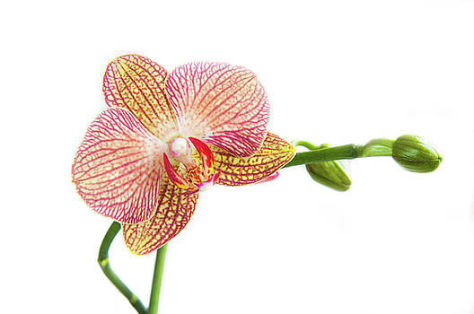 Michalakis Ppalis - Orchid, Phalaenopsis, flower