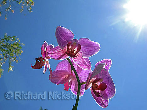 Orchid by Richard Nickson