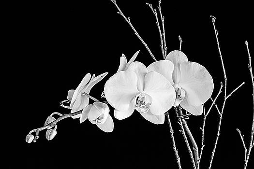 Scott Pellegrin - Orchid - sepia