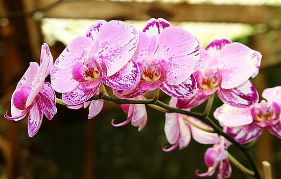 Orchids at Selby Gardens by Sheryl Unwin