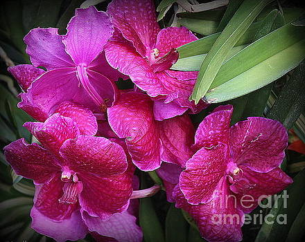Orchids Lovely in Magenta by Dora Sofia Caputo Photographic Art and Design