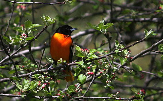 Anne Babineau - oriole in the apple tree