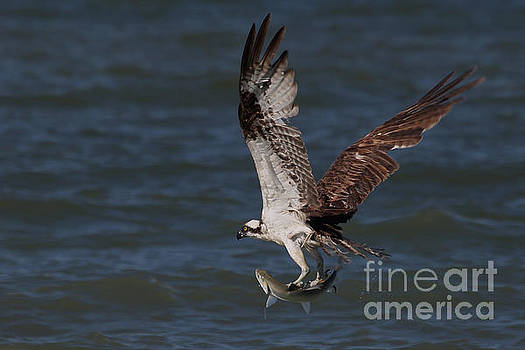 Osprey in Flight by Meg Rousher