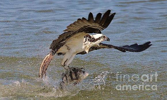 Paulette Thomas - Osprey with the catch of the day