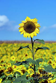 Outstanding Sunflower by John Greim
