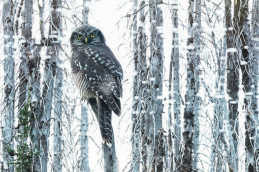 Owl by Christian Heeb