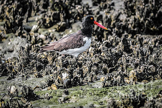 Oyster Catcher by Thomas Marchessault