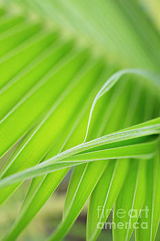 Palm Leaf Detail by Charmian Vistaunet