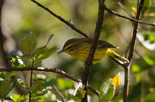 Palm Warbler by James Petersen