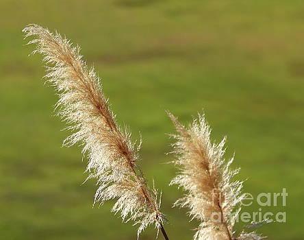 Pampas Grass by Henrik Lehnerer