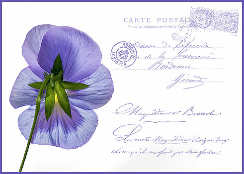 Pansy Postcard by Cathy Kovarik
