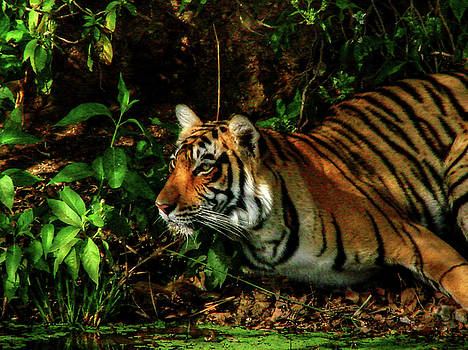 Rohit Chawla - Paying homage to the Jungle King
