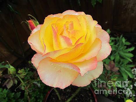 Peace Rose by Joyce Woodhouse