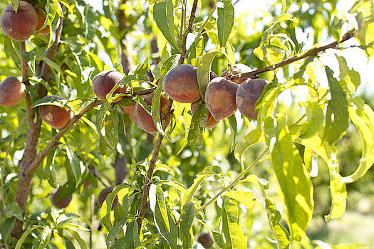 Peaches by Emily Smith