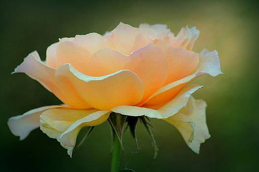 Rosanne Jordan - Peachy Rose