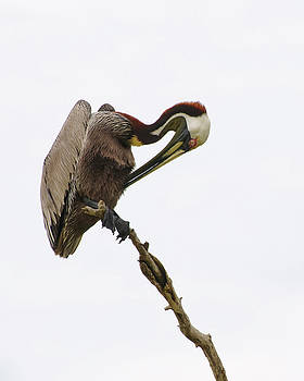 Christine Kapler - Pelican on perch