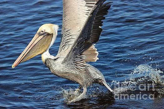 Paulette Thomas - Pelican Splash Down