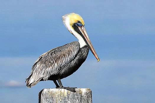 Pelican by William Bosley