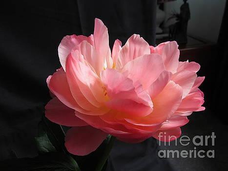 Peonies Flower by Joyce Woodhouse