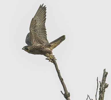 Dee Carpenter - Peregrine Falcon