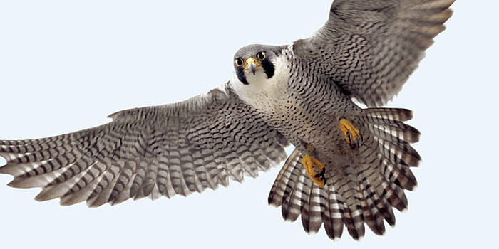 Peregrine Falcon in Flight over Providence by Peter Green