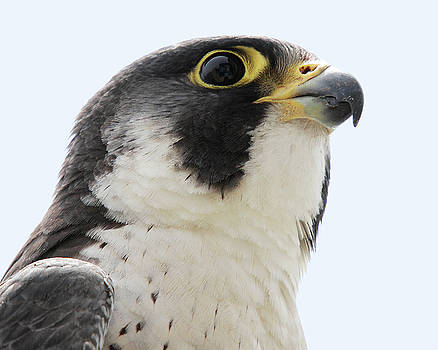 Peregrine Falcon portrait 1 by Peter Green