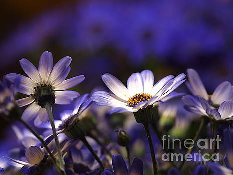Pericallis On A Cool Spring Evening 3 by Dorothy Lee