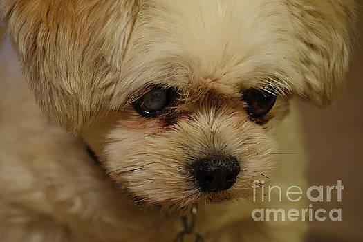 Pet Portrait - Annie by Laura  Wong-Rose
