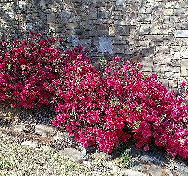 Azaleas against a rock wall by Glenda Barrett