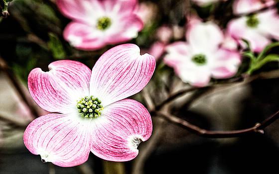 Jill Lang - Pink Dogwood Blooms