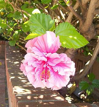 Pink Hibiscus I by Shan Ungar