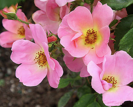 Pink Knockout Roses by Ellen Tully