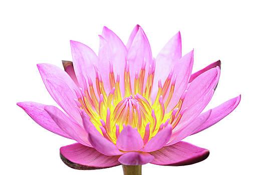 Pink Lotus by Keattikorn Samarnggoon