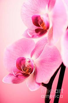 Pink Orchid Closeup by Jelena Jovanovic