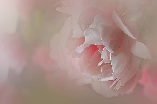 Pink rose by Alena Bytcankova