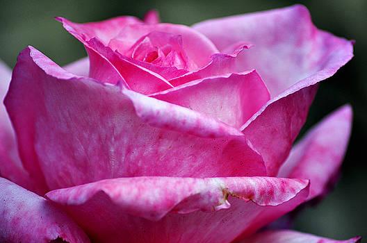 Clayton Bruster - Pink Rose