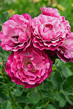 Pink Roses by James Gay