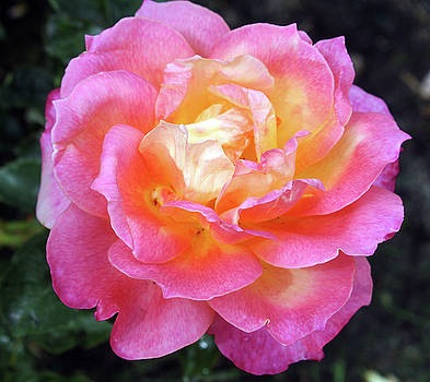 Pink with Yellow Center Rose by Ellen Tully