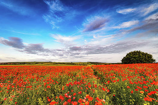 Pinkiehill Poppies by Scott Masterton