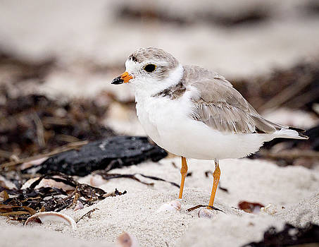 Piping Plover by Jim Gillen