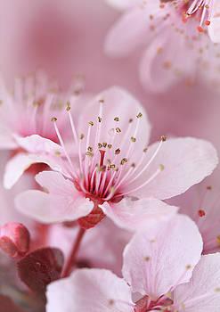 Plum Blossom 2 by David Kocherhans