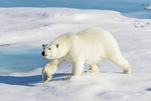 Polar bear  by Alexey Seafarer
